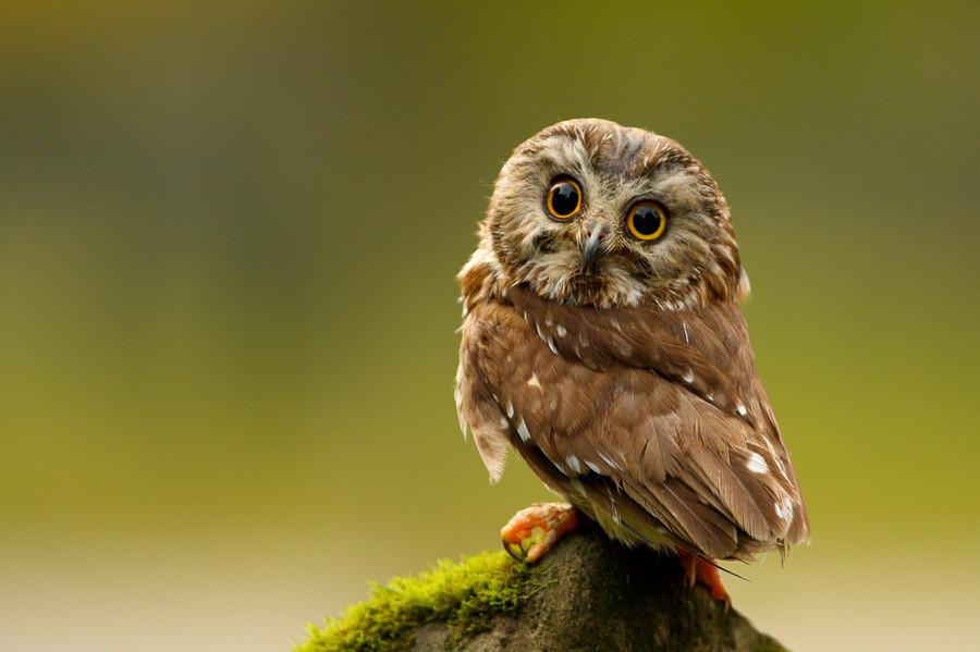 Northern Saw-whet Owl. . Northern Saw-whet Owl